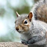 A close-up portrait of an adult Grey Squirrel (Sciurus carolinensis). Stock Photo