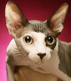 Close-up portrait of adult hairless Don Sphinx Royalty Free Stock Photography