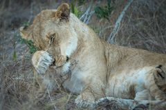 Portrait of adult lioness cleaning herself. royalty free stock image