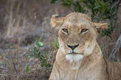 Portrait of adult lioness resting stock images