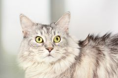 Close up portrait of adult maine coon staring with a scared look. Silver tabby serious cat. Close up portrait of adult maine coon, staring with a scared look stock photos