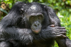 Close up Portrait Adult male Bonobos (Pan Paniscus) on green natural background. Stock Image