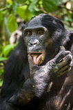 Close up Portrait Adult male Bonobos (Pan Paniscus), licking a paw, on green natural background. Royalty Free Stock Photo