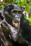 Close up Portrait Adult male Bonobos (Pan Paniscus), licking a paw, on green natural background. Stock Photos