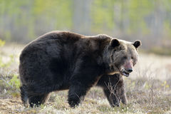 Close-up Portrait of Adult Male of Brown Bear (Ursus arctos) in spring forest. Stock Images