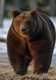 Close-up Portrait of Adult Male of Brown Bear (Ursus arctos) Royalty Free Stock Image