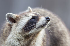 Close-up portrait of an adult raccoon Stock Photography