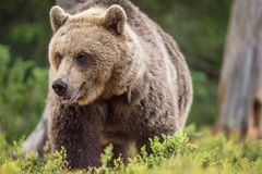 Close up portrait of Adult Wild Brown bear Stock Image
