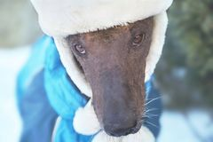 Close-up portrait of adult Xolotizcuintle dog Mexican Hairless in winter hat and clothes. Beautiful purebred dog with harsh and. Clever look. Outdoors, snowy royalty free stock photography