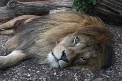 Close up portrait of African lion resting Royalty Free Stock Photos