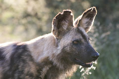 Close up portrait of african wild dog Stock Photos