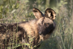 Close up portrait of african wild dog Royalty Free Stock Photos