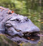 Did you ever see an Alligator Smile?. Close-up portrait of an Alligator swimming in the calm Florida water. Don`t let his smile fool you, he`s dangerous Stock Photography