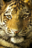 Close Up Portrait Of Amur Tiger Cub Outdoors. Eye to eye close up portrait of Amur Tiger Cub outdoors in natural lighting. Very detailed close up Royalty Free Stock Photo