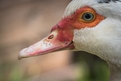 Close up portrait animal head of white muscovy female duck royalty free stock photo
