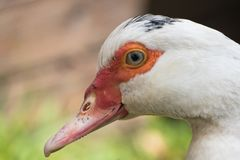 Close up portrait animal head of white muscovy female duck stock photo