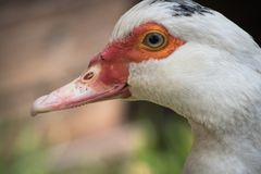 Close up portrait animal head of white muscovy female duck stock image