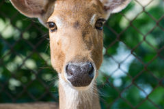 Close up portrait of an antelope Royalty Free Stock Photos