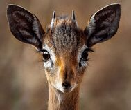 Close-up Portrait of a Antelope Royalty Free Stock Images