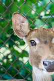 Close up portrait of an antelope Stock Photography