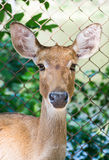Close up portrait of an antelope Royalty Free Stock Image