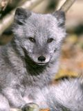 Arctic Fox in summer coat, watching, portrait close up. Close up portrait of Arctic Fox in silver summer coat and dark brown eyes, watching interested royalty free stock photo