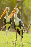 The close up portrait of Asian Openbill stork Royalty Free Stock Image