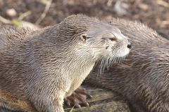 Asian small clawed otter aonyx cinerea stock photos