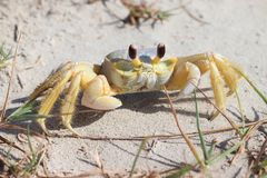 A crab on the beach, Atlantic ghost crab, Ocypode quadrata. Galveston Island, Texas Gulf Coast, Gulf of Mexico, USA. stock images