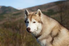 Close-up Portrait of attentive beige and white Siberian Husky dog in the forest on mountains background.  royalty free stock photography