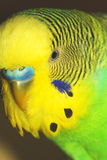 Close-up portrait of the Australian Budgie. Male. Macro Stock Photography