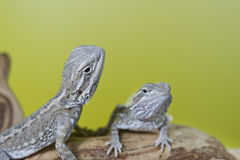 Close up portrait of babies reptile lizards bearded dragons Royalty Free Stock Photo
