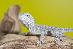 Close up portrait of babies reptile lizards bearded dragons Stock Image