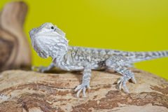 Close up portrait of babies reptile lizards bearded dragons Stock Photography