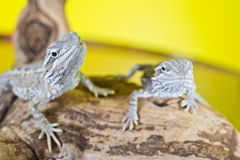 Close up portrait of babies reptile lizards bearded dragons Royalty Free Stock Photography
