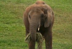 Close up Portrait of Baby African Elephant while feeding Stock Image