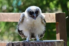 Baby brown wood owl strix leptogrammica. Close up portrait of a baby brown wood owl strix leptogrammica stock photos