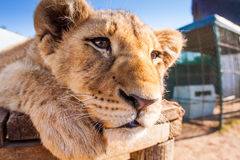 Close up portrait baby lion Royalty Free Stock Images