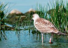 Close-up portrait of back of gray brown seagull bird walking on shore in blue water in green grass. Beautiful bright Stock Photography