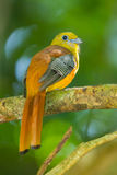 Close up portrait backside of Orange-breasted Trogon Royalty Free Stock Image