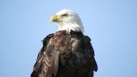 Close Up Portrait of Bald Eagle.  stock video