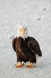 Close-up Portrait of Bald Eagle Stock Image