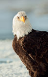 Close-up Portrait of Bald Eagle Stock Images