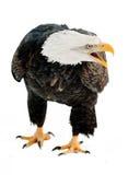 Close up Portrait of a Bald eagle. (Haliaeetus leucocephalus washingtoniensis ) with an open beak . Isolated on white Royalty Free Stock Image