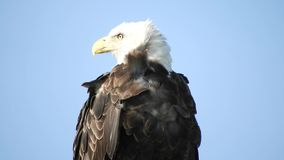 Close Up Portrait of Bald Eagle.  stock video footage