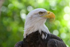Close up portrait of a Bald Eagle. Head and shoulders. Green trees OOF in background. The bald eagle is both the national bird and national animal of the royalty free stock image