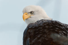 Close up Portrait of a Bald Eagle Stock Images