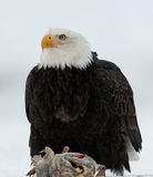 Close up Portrait of a Bald Eagle Stock Image