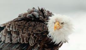 Close up Portrait of a Bald Eagle. Winter Close up Portrait of a Bald eagle (Haliaeetus leucocephalus washingtoniensis Royalty Free Stock Image