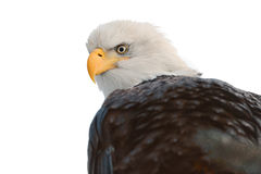 Close up Portrait of a Bald Eagle. Winter Close up Portrait of a Bald eagle (Haliaeetus leucocephalus washingtoniensis ). Isolated on white background Stock Photography